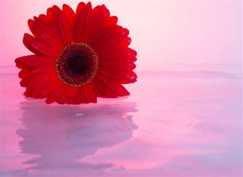 foto di fiori da scaricare gratis fiori di gerbera scaricare foto gratis