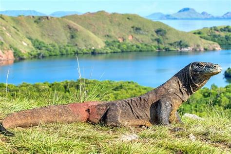 komodo national park  total wildlife fantasy