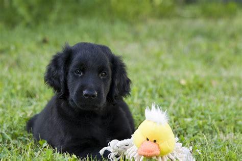 golden flat coated retriever flat coated retriever dogclub der hunde