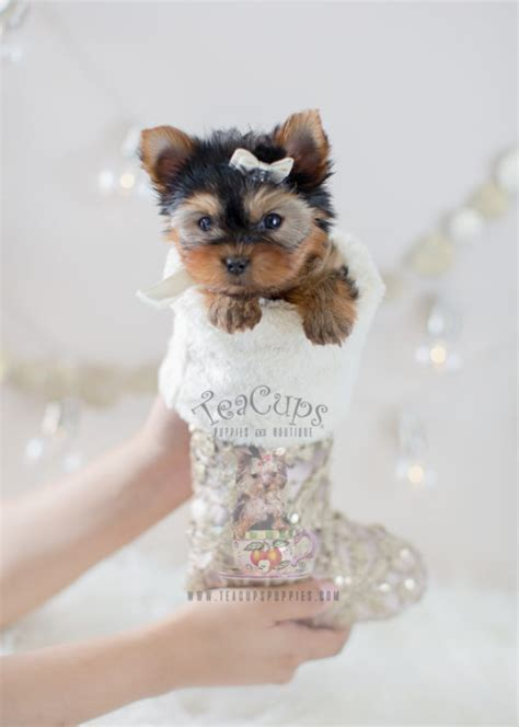 teacup yorkie puppies for sale or teacup yorkies for sale teacups puppies boutique