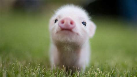 Super Cute Baby Guinea Pigs   wallpaper.