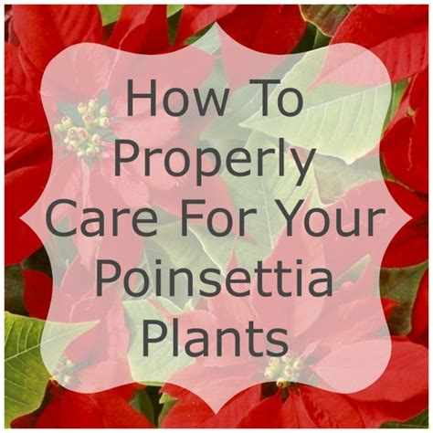 caring for your poinsettia plants not killing them home and garden