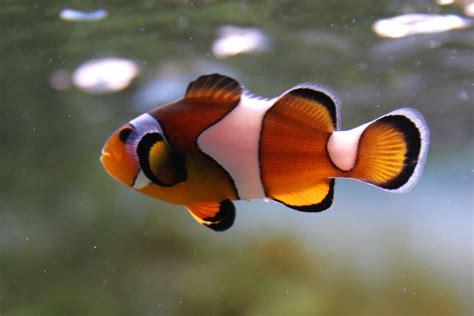google images fish clown fish animalcaresheets