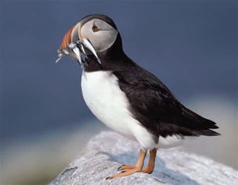 animal facts atlantic puffin canadian geographic