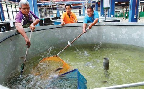 Pancing Ikan Termahal hasil 51 741 anak kelah harian metro