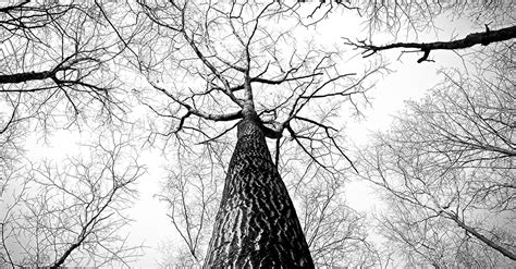 white branch tree free stock photo of bark black and white branches