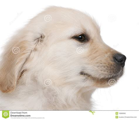 golden retriever up up of golden retriever puppy stock photo image