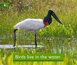 birds live in the water