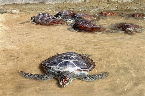 Gelang Dari Kulit Penyu pulau penyu tanjung benoa pulau menawan nusa dua bali