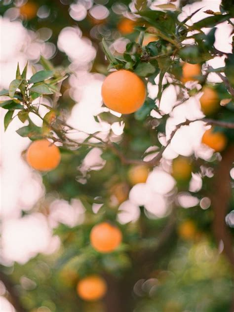 tree that smells like oranges 17 best images about orange trees on trees anniversary and fineart