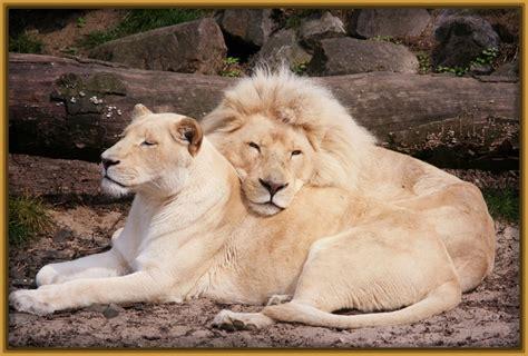 imagenes leon blanco fotos fotos de un leon blanco archivos imagenes de leones