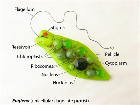 euglena diagram image gallery euglena cell