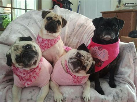 do pugs bark a lot 17 best images about pugs on a pug pug and pug