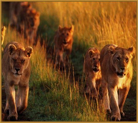imagenes manada leones imagenes de manadas de leones archivos imagenes de leones