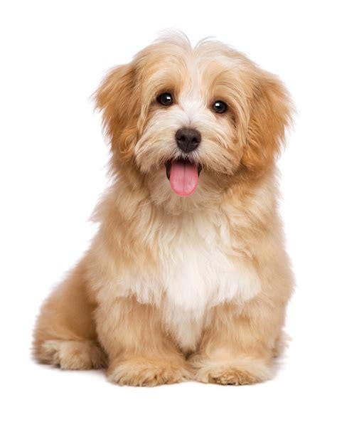 cavachon rescue dogs cavachon puppies for sale north texas cat rescue