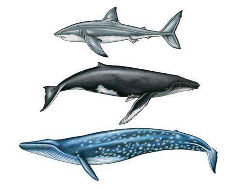 Gamis Big Size Blue megalodon shark size vs blue whale