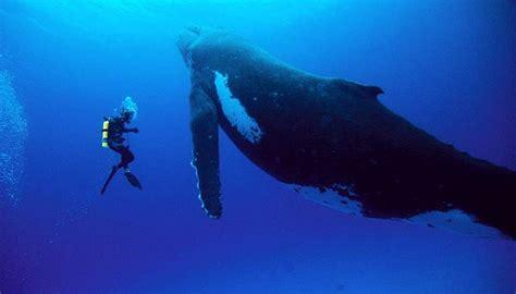 imagenes impresionantes de ballenas im 225 genes impresionantes de una ballena y su cr 237 a taringa