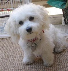 what does a havanese look like havachon on bichon frise cavalier king charles and poodle