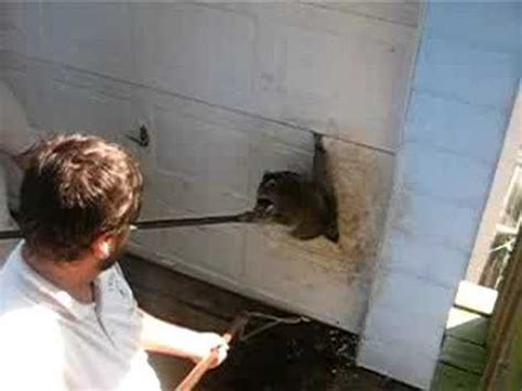 Garage Door Getting Stuck Racoon Stuck In My Garage Door
