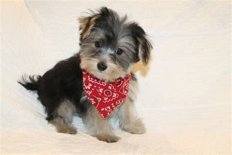 half yorkie half maltese for sale yorkie puppies for sale available puppies