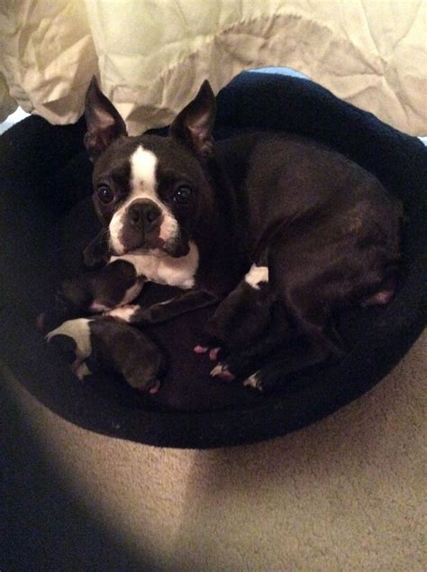 boston puppies for sale teacup boston terrier birmingham west midlands pets4homes