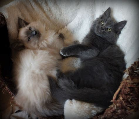 ragdoll vs maine coon stunning fluffy maine coon x ragdoll kittens