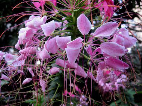botanical names of flowers