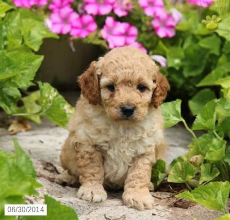 cockapoo puppies for sale in pa cockapoo puppy for sale in pennsylvania cockapoo pennsylvania puppies
