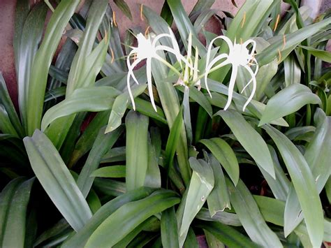 garden care simplified healthy spider lily flower plants tips and care