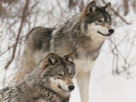 imagenes de animales lobos los mejores fondos de pantalla de lobos taringa