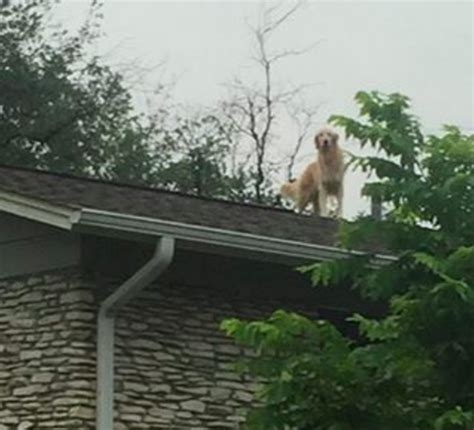 dog on a roof huckleberry the dog likes hanging out on the roof
