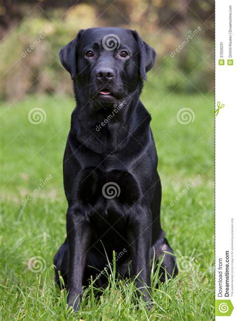 imagenes labrador negro labrador negro que se sienta en hierba verde imagen de