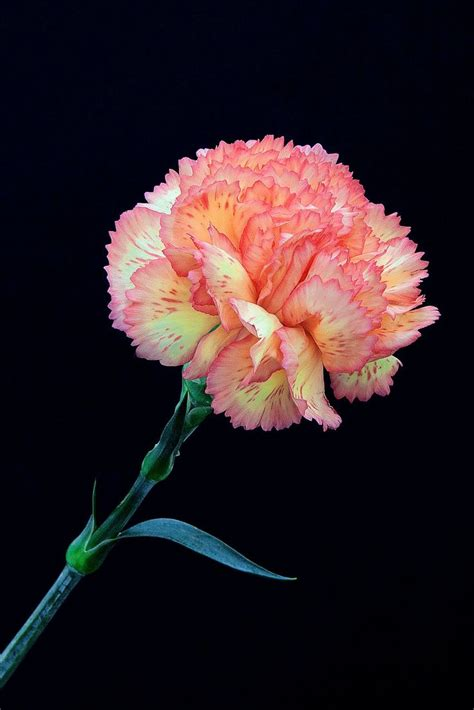 facts about carnations 88 best tears blossom images on pinterest carnations