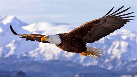 foto burung elang gambarbinatang