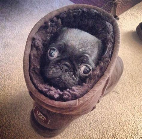 pugs indiana pug in an ugg puggies