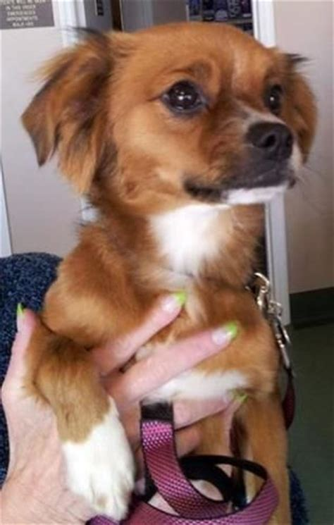 king charles spaniel and pomeranian cavalier king charles spaniel chihuahua cross breeds chihuahuas
