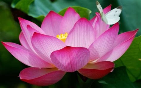 lotus and butterfly pink lotus flowers and a butterfly hd wallpaper 72i38