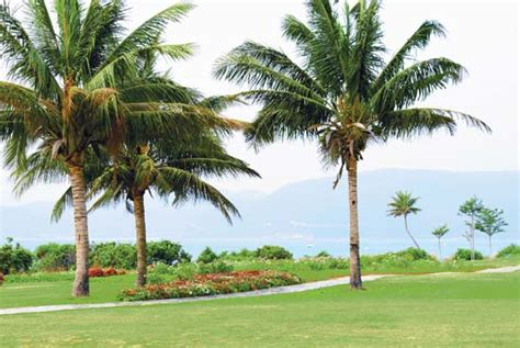 Uses Of The Coconut Palm by Coconut Palm Tree Britannica