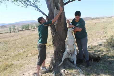 hanging tree dogs graphic image dogs found hanging from tree the citizen