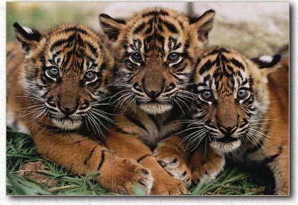 blog gambar harimau sumatra
