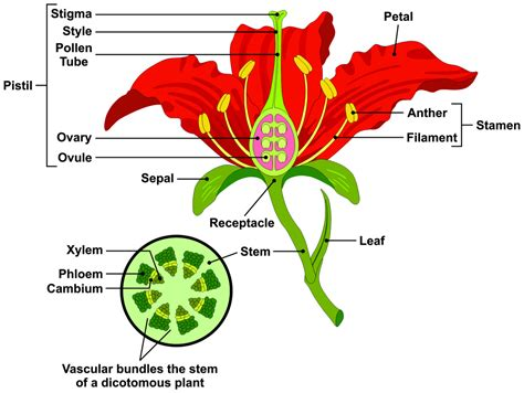 flower part diagram parts of a flower and plant 7 diagrams flower cell
