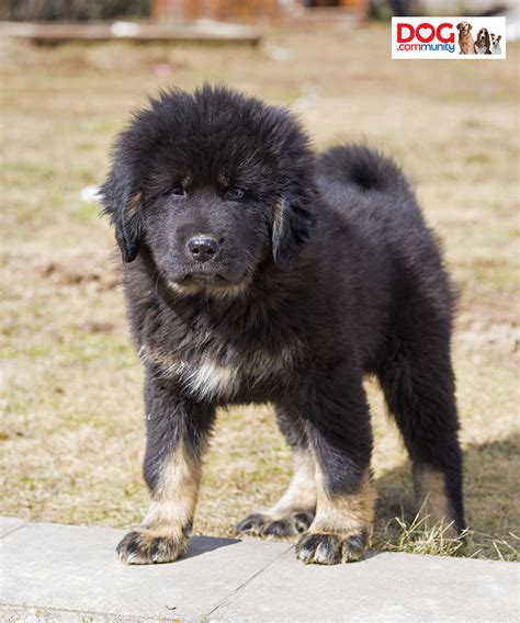 how much is a tibetan mastiff puppy this was sold for how much news entertainment news entertainment