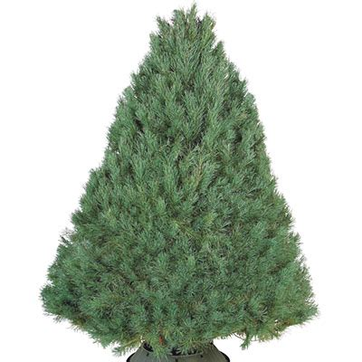 home depot live christmas tree live tree buying guide
