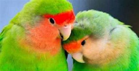 animali domestici da gabbia pappagalli domestici razze e caratteristiche idee green