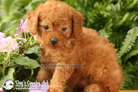 toelettatura cani pavia allevamento barboncino allevamento cuccioli