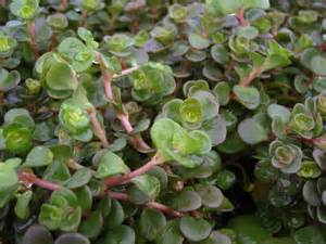 sedum plants a collection of 10 plants with 5 varieties