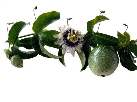 fiore della passione significato significato fiore della passione ricanti il
