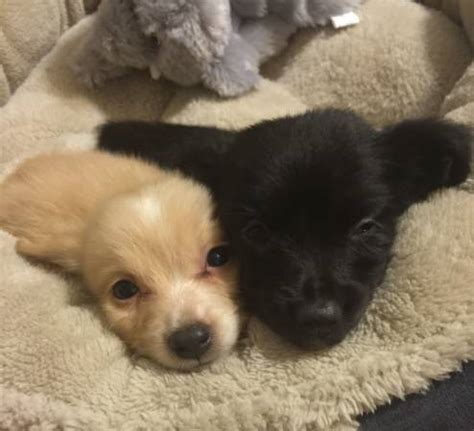 oahu puppies puppies1008465039 pomeranian chihuahuas pomchi oahu classifieds 587202