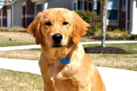 golden retriever puppies houston houston sues for return of golden retriever he raised from a puppy houston chronicle