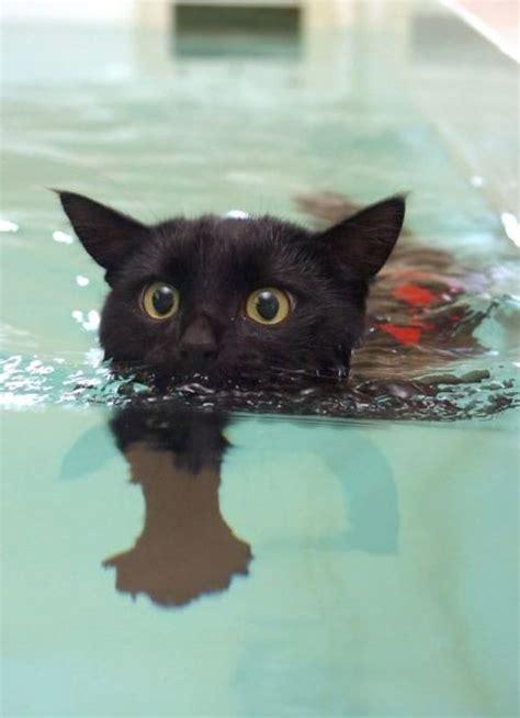kitten swimming in bathtub 25 best ideas about bombay cat on pinterest black kitty